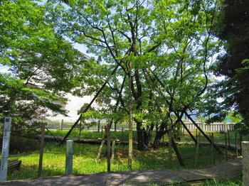 ヒトツバタゴの木